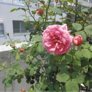 プリンセスアレキサンドラオブケント2番花開花中♪