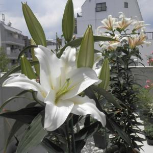 ジャイアントカサブランカが咲きました♪