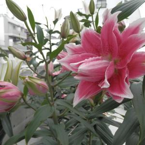 ローズリリーイザベラ咲いています♪