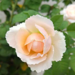 3番花咲いています!