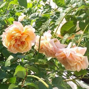 ニュアンスカラーのバラ