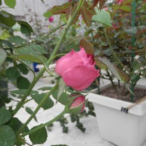 マダム・イサーク・ペレール2番花咲きそうです♪