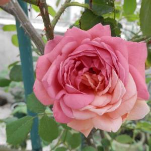 珍しい花が咲いたプリンセスアレキサンドラオブケント