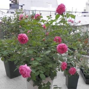 マダム・イサーク・ペレール 2番花咲きました♪