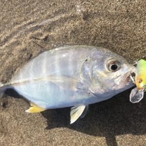 9月の西伊豆メッキ釣行 小型が多いも良型の姿あり!