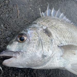 チニングで魚が釣れない。クロダイ・キビレをルアーで釣るための考え方とコツ