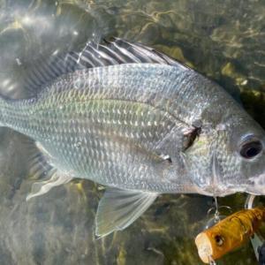 9月の静岡チニング釣行 トップ&ワームでキビレ!