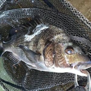 9月のチニング釣行 ハクパターンで良型クロダイの釣果