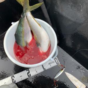 真鯛はおらん❗️