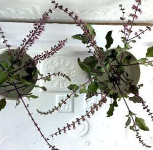 クリシュナトゥラシーの挿し芽。