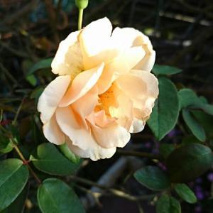 秋の薔薇 クレパスキュール