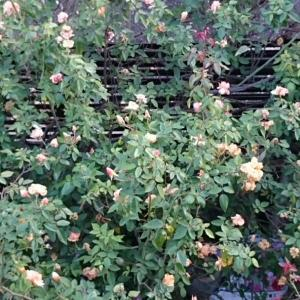庭の薔薇 良く咲いてます