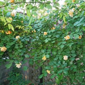 庭仕事  バラの咲く頃が楽しみです