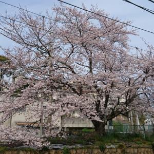 桜も バラもクレマチスもあっという間に育てます