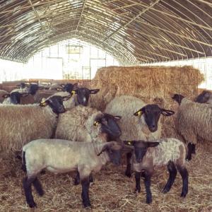 羊は待ってくれない