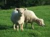 いったつもりで北海道! 石田めん羊牧場から羊とどきました!