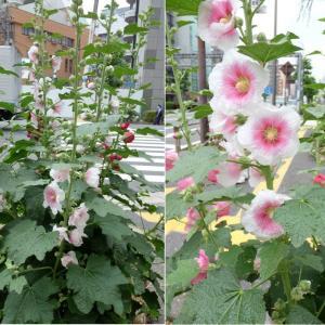 背丈まで伸びた花・もうすぐ咲く花