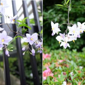 花菖蒲、菖蒲、季節の花たち その③