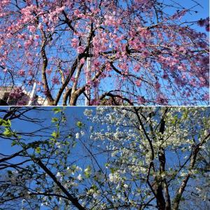 恒例・桜花見散策