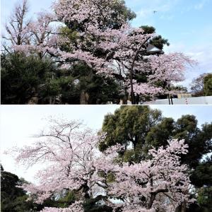 桜花見散策・上野公園編
