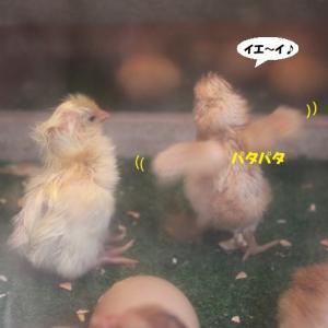 ヒナ同士のプチ喧嘩(笑)