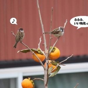 子スズメちゃんが柿を狙ってる(笑)