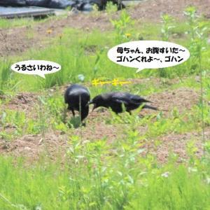 育ち盛りのカラスのヒナの絶叫はすごかった(笑)