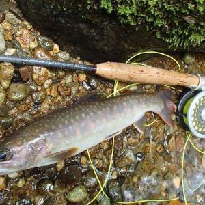 尺岩魚と痩せ岩魚