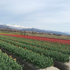 北陸を食べよう~旅( ๑>ω•́ )ﻭ残雪のお山・チューリップ・菜の花・桜の四つ巴「春の四重奏」