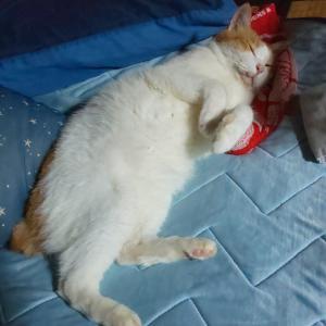 夏はヘソ天の季節 猫が落ちてる季節
