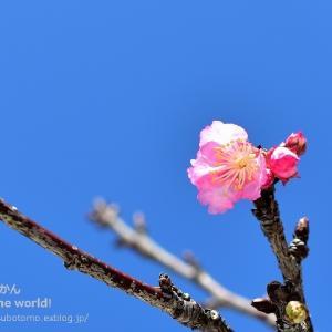 沖縄の桜「カンヒザクラ」の便りが南部に届きました