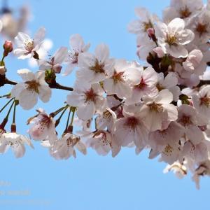 桜咲く東京散策
