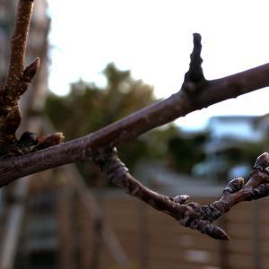 くーちゃんの桜に芽がたくさん♪