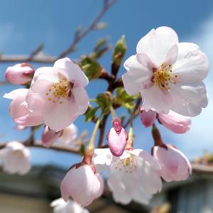 今年のくーちゃんの桜 ベストショット!