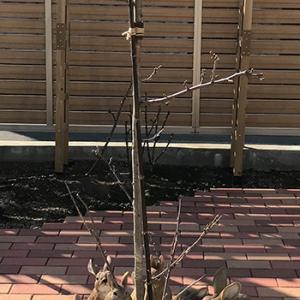 くーちゃんの桜 初めての鉢替え/取り木は失敗;