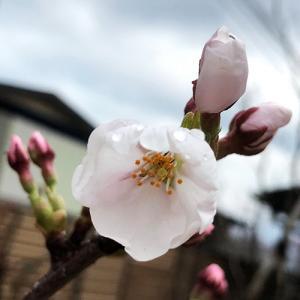 くーちゃんの桜 開花!