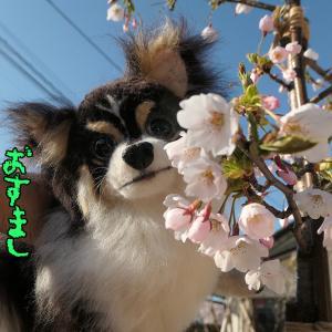 くーちゃんの桜でお花見v(1)