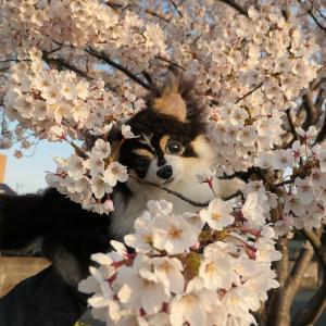 近所の公園でちょっとだけお花見♪