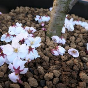 チュンコが桜の花を落とした疑惑w