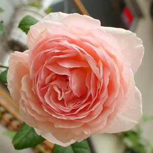 バラS1号 開花♪