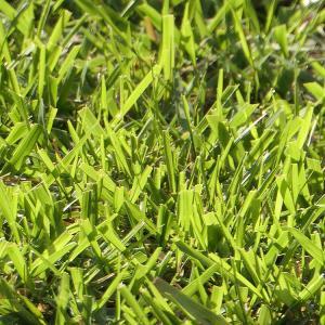 芝生 張り替えた場所が生えそろってきた♪