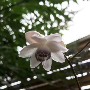 レンゲショウマ 開花v