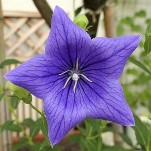 桔梗(紫)開花♪