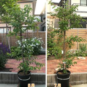 くーちゃんの桜 今年は夏でも元気!