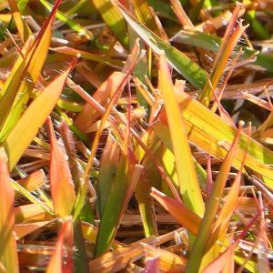 芝生 紅葉しました♪