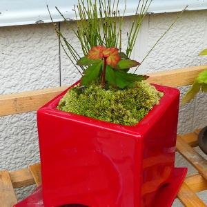 盆栽も紅葉♪