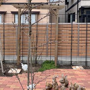 桜 取り木に根っこ出てる?