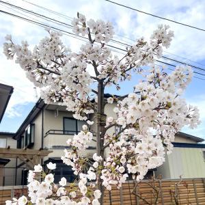 くーちゃんの桜 満開! & 大島桜 発芽v