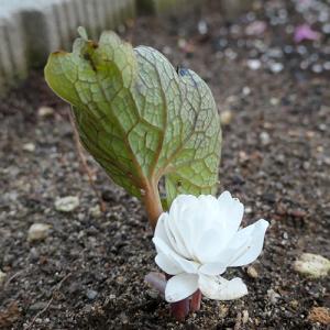 八重咲きサンギナリア 咲かず;