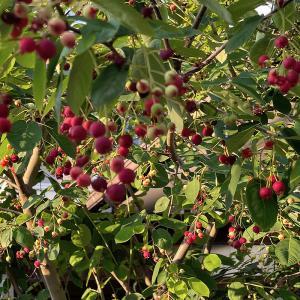 ジューンベリー 収穫開始!